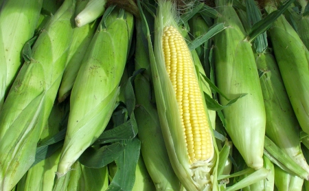 Sweet corn from Sidhu Farms. Photo copyright 2009 by Zachary D. Lyons.