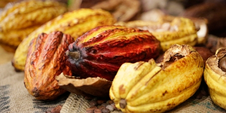Cacao pods. Photo courtesy NW Chocolate Festival.