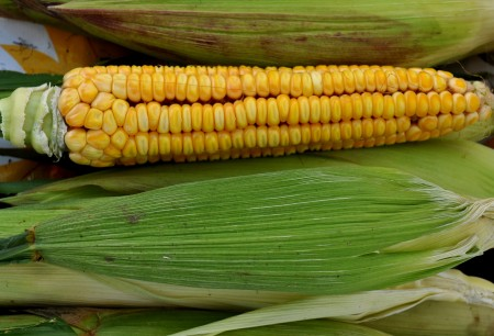 Heirloom Kenyon sweet corn from Seattle Tilth Farm Works. Photo copyright 2013 by Zachary D. Lyons.