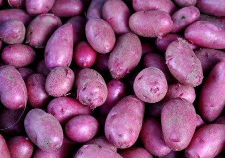 New Red Thumb potatoes from Alvarez Organic Farms. Photo copyright 2014 by Zachary D. Lyons.