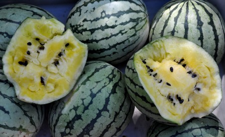 Yellow Doll watermelon from Lyall Farms. Photo copyright 2011 by Zachary D. Lyons.