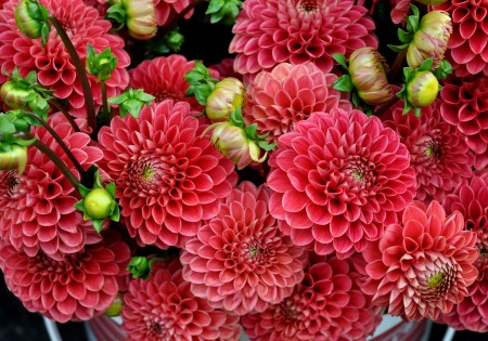 Dahlias from Yeng Garden. Photo copyright 2014 by Zachary D. Lyons.