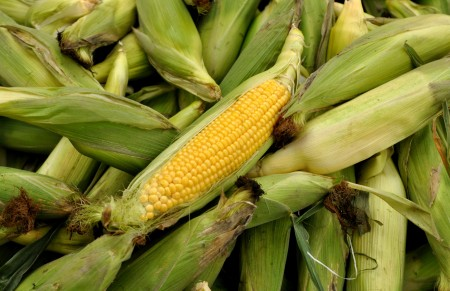 Basin 'R' Yellow Sweet Corn. Copyright Zachary D, Lyons.