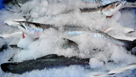 Whole coho salmon from Wilson Fish. Copyright Zachary D. Lyons.