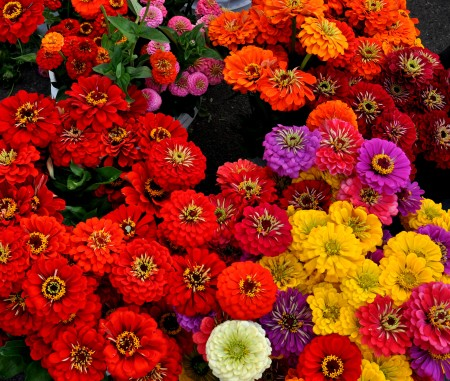 Zinnias from Yeng Garden. Copyright Zachary D, Lyons.